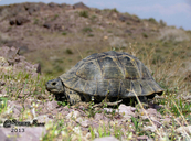 Asian Spur-thigh Tortoise