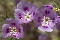 Clarkia speciosa ssp. polyantha