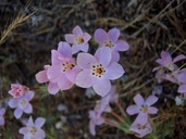 Linanthus orcuttii