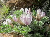 Astragalus purshii var. purshii