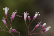 Heuchera rubescens var. versicolor