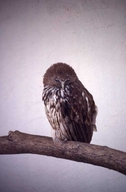 Vermiculated Fishing Owl