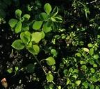 Polycarpon tetraphyllum var. tetraphyllum
