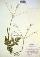 Osmorhiza purpurea