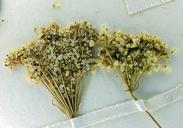 Perideridia leptocarpa