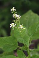 Circaea alpina ssp. pacifica
