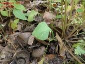 Claytonia parviflora
