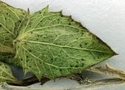 Brickellia atractyloides var. odontolepis