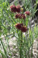 Lomatium marginatum