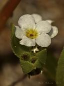Plagiobothrys reticulatus