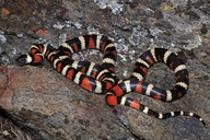 """The first photo-documented L. zonata from Tejon Ranch in Kern County, CA. Found with Brian Hinds, Robert Hansen, David Tobler, and Mike White during one of many NAFHA trips to Tejon Ranch.<br /><strong>Location:</strong> Blue Ridge on Tejon Ranch (Kern County, California, US)<br /><strong>Author:</strong> <a href=""""http://calphotos.berkeley.edu/cgi/photographer_query?where-name_full=Todd+Battey&one=T"""">Todd Battey</a>"""