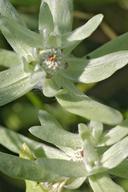 Psilocarphus oregonus