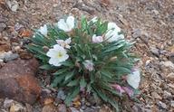 Oenothera cespitosa ssp. marginata