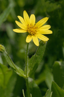 Arnica lanceolata ssp. prima