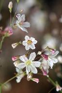 Eriogonum spergulinum var. reddingianum
