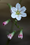 Eriogonum spergulinum ssp. reddingianum