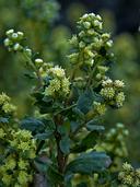 Baccharis pilularis ssp. consanguinea