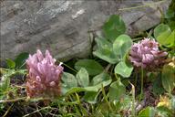 Trifolium pratense ssp. nivale