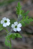 Nemophila heterophylla