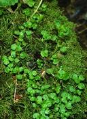 Chrysosplenium glechomifolium