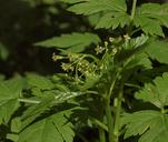 Ribes bracteosum