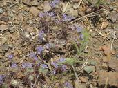 Navarretia jepsonii