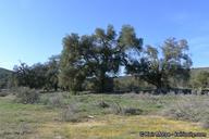 Quercus agrifolia var. oxyadenia