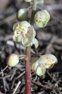 Pyrola aphylla