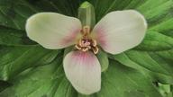Trillium albidum