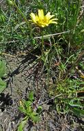 Agoseris heterophylla var. cryptopleura