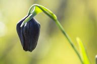 Fritillaria lanceolata var. tristulis