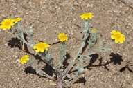 Eriophyllum ambiguum var. ambiguum