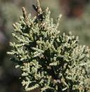 Hesperocyparis macnabiana