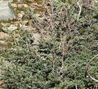Juniperus communis var. saxatilis
