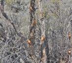 Cercocarpus intricatus