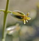 Streptanthella longirostris