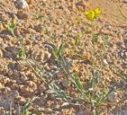 Physaria tenella