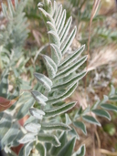 Astragalus oxyphysus