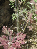 Saltugilia latimeri
