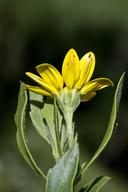 Chrysanthemoides monilifera ssp. monilifera