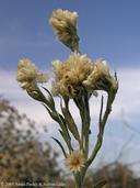 Pseudognaphalium leucocephalum