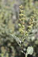 Ambrosia deltoidea