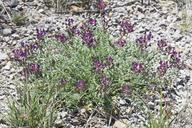 Astragalus tephrodes