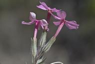 Phlox stansburyi ssp. stansburyi