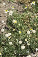 Lasiospermum bipinnatum