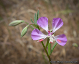 Clarkia delicata