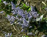 Ceanothus arboreus