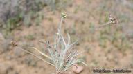 Plantago ovata var. insularis