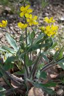 Ranunculus occidentalis var. occidentalis
