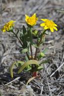 Lasthenia ferrisiae